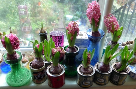 Pink Pearl forced hyacinths