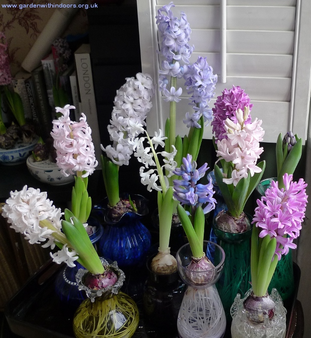 hyacinths in hyacinth vases in bloom