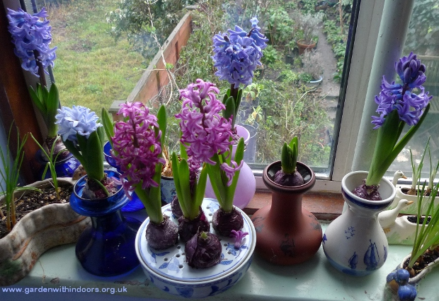 hyacinths in bloom in vases and bulb bowl
