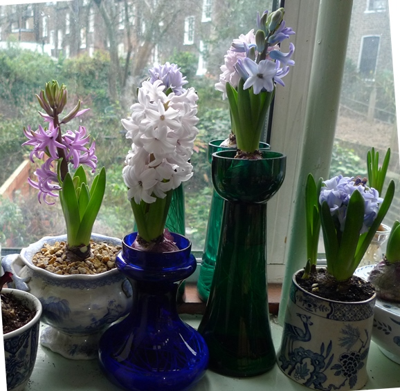 forced hyacinths Christmas day