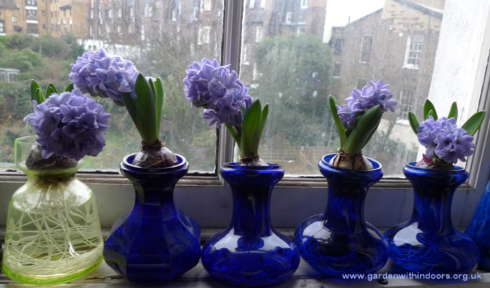 forced hyacinths in hyacinth vases bent
