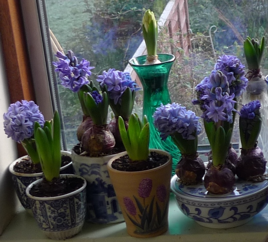 forced hyacinths for Christmas