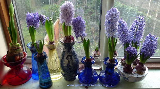 forced hyacinth in hyacinth vases
