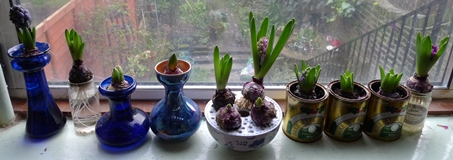 forced hyacinths in bud
