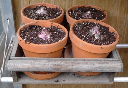 hyacinth bulbs in pots