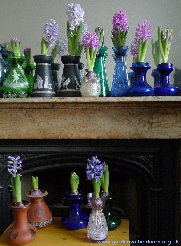 hyacinths in bloom in hyacinth vases
