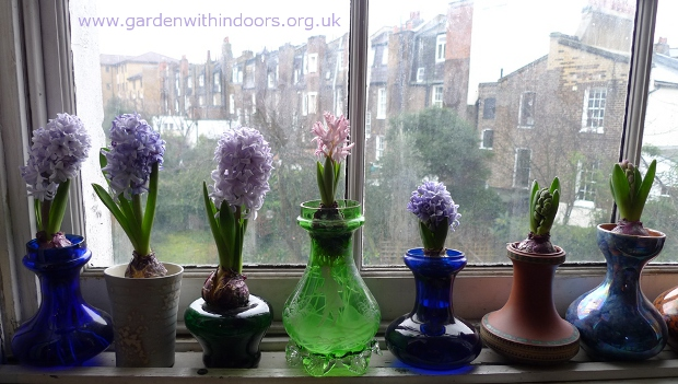 forced hyacinths in hyacinth vases windowsill upstairs