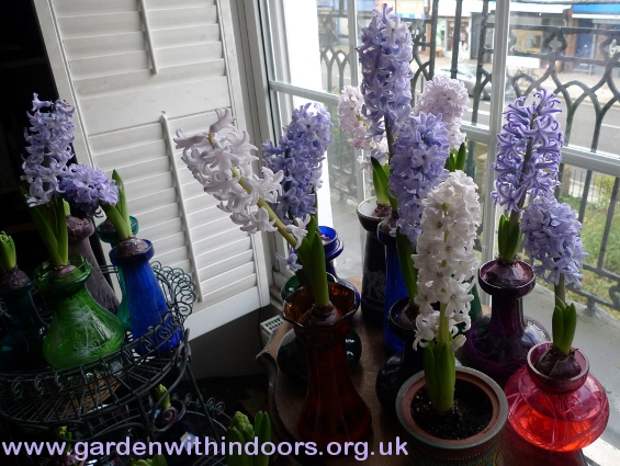 forced hyacinths in hyacinth vase