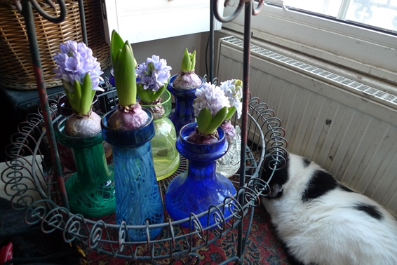 forced hyacinths end of December