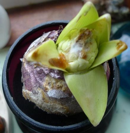 mouldy forced hyacinth buds