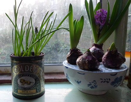 muscari in golden syrup tin
