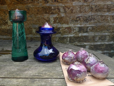 skyline hyacinth bulbs and vases