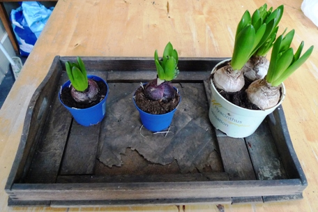 pot bulbs for vases