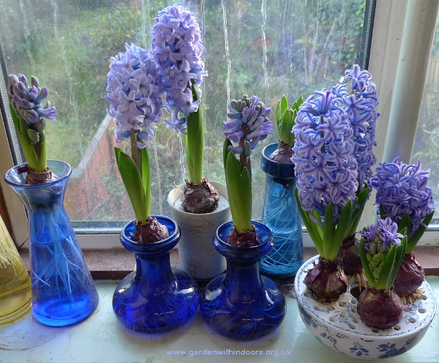 purple-blue forced hyacinths in hyacinth vases