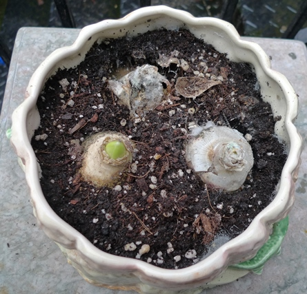rotten hyacinth bulbs