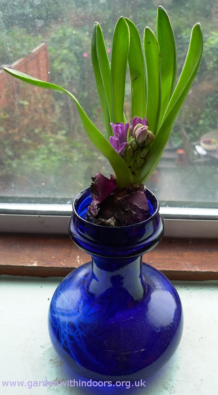 Miss Saigon hyacinth with second stem