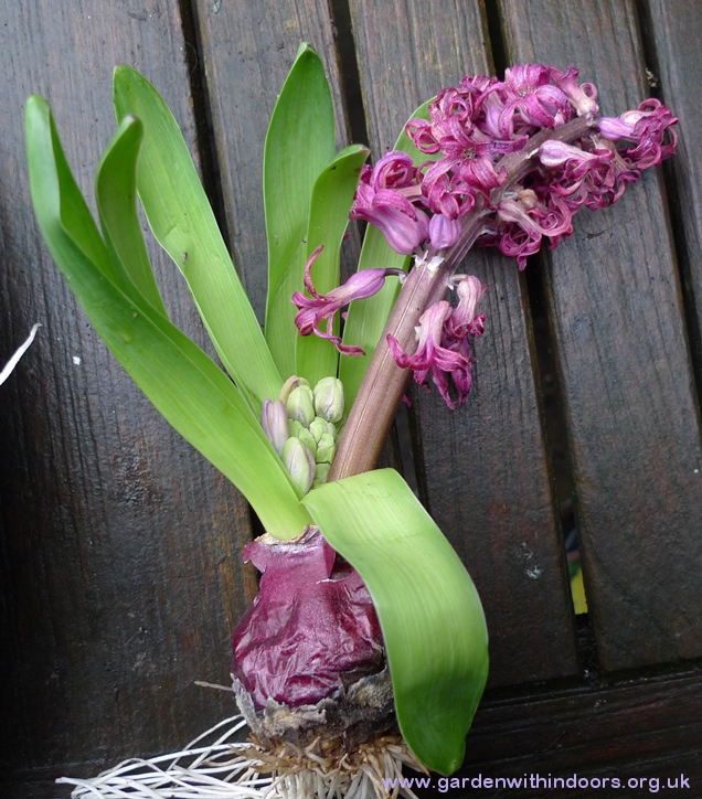 forced hyacinth with second stem