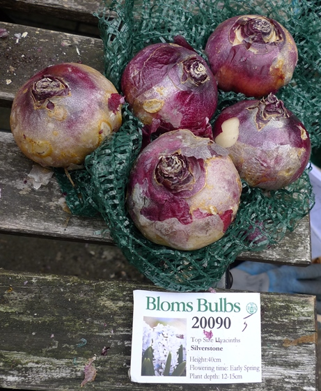 Bloms Silverstone hyacinth bulbs