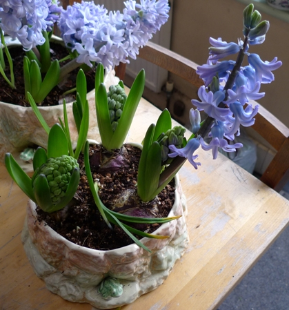 SylvaC pot with hyacinth bulbs