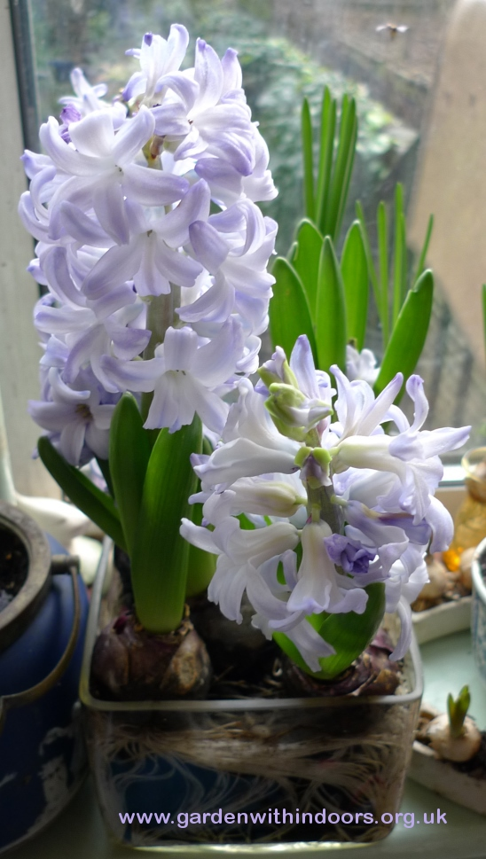 Blue Eyes forced hyacinths