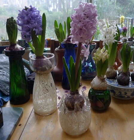 splendid cornelia hyacinth forced in a vase