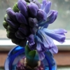 Delft Blue hyacinth buds