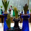 hyacinths in bud and bloom in vases