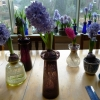 hyacinths in bloom in vases mid-January