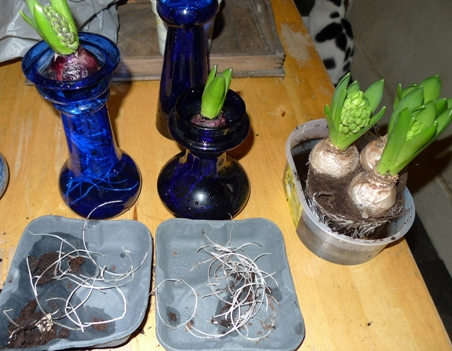 transferring bulbs from pots to vases