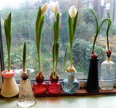 white tulips forced in vases