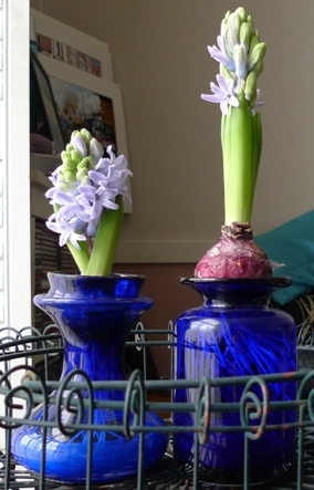 Delft Blue and Sky Jacket hyacinths in cobalt blue vases