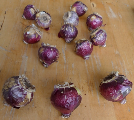unprepared hyacinth bulbs after 4 weeks in the fridge