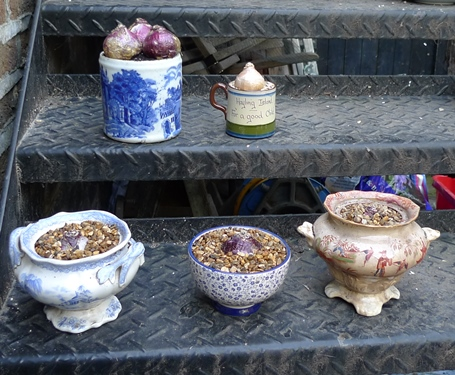 hyacinth bulbs in ceramic containers
