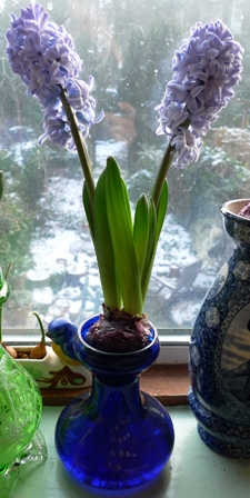 double-stemmed Delft Blue hyacinth