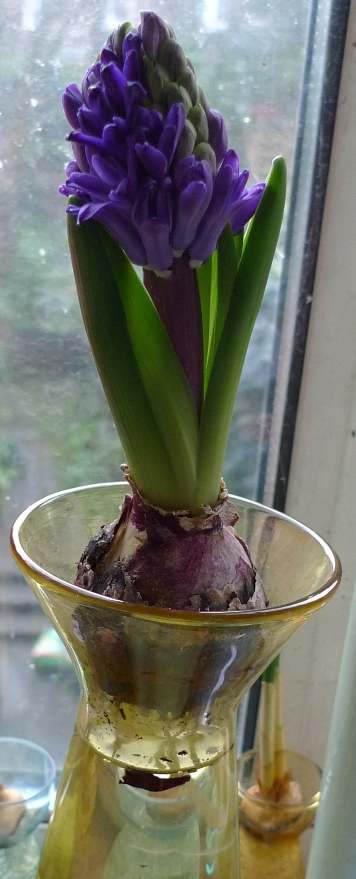 hyacinth flower in forcing vase