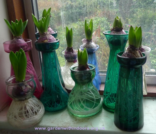 forced hyacinths vases
