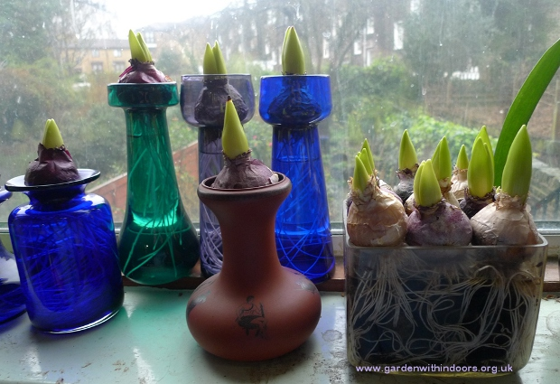 forced hyacinth bulbs vases