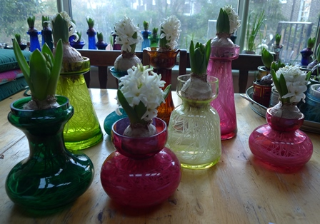 white pearl hyacinths in forcing vases