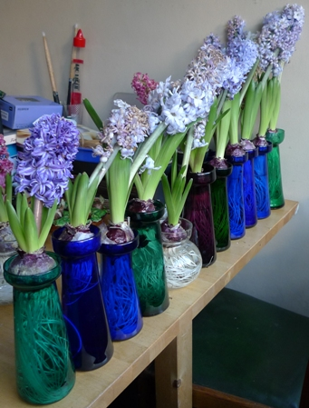 wilting hyacinths in vases