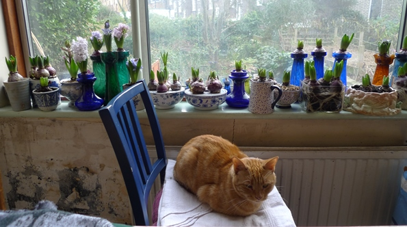 forced hyacinths on windowsill