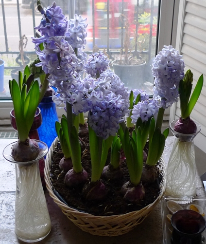 Delft Blue hyacinths growing in a plastic lined basket