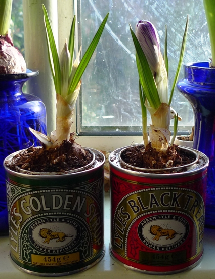 first crocus in Tate and Lyle golden syrup and black treacle tins