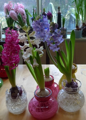 hyacinth bulbs flowering in hyacinth vases