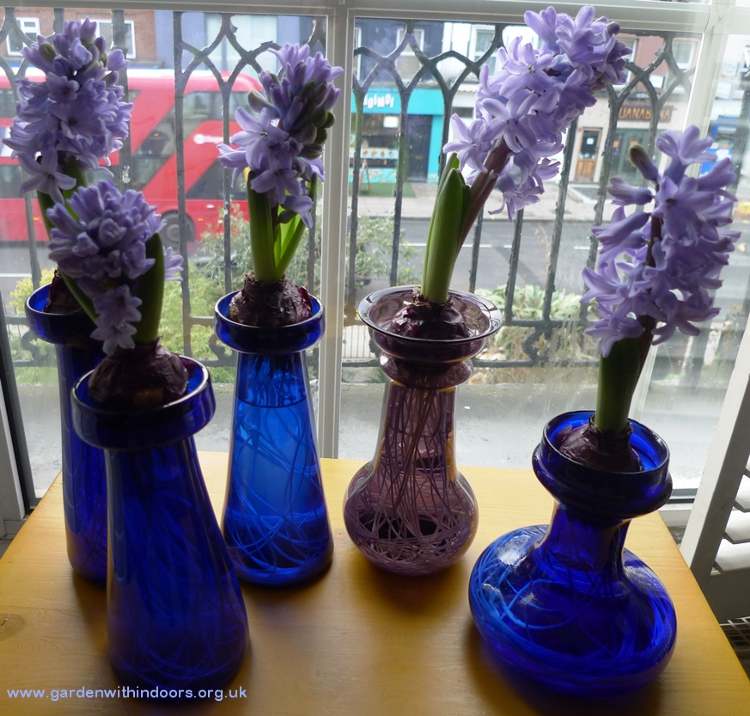 delft blue hyacinths in hyacinth vases