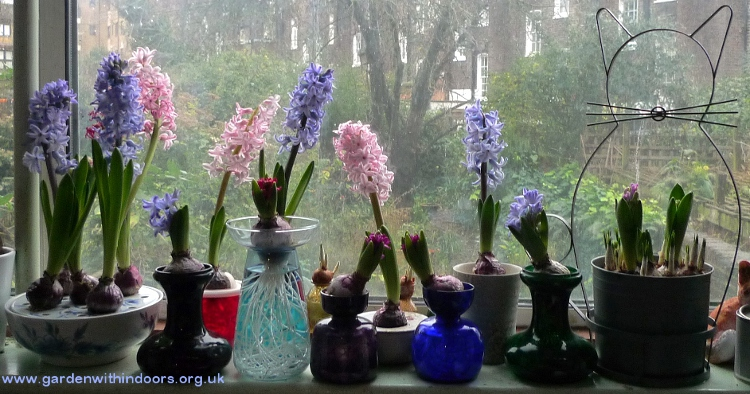 forced hyacinths in vases for Christmas