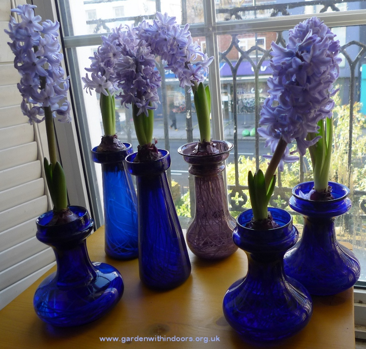 forced hyacinths in vases