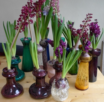 spent forced hyacinths