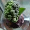 Delft Blue hyacinth buds