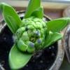 Skyline hyacinth buds