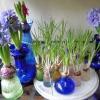 crocus and hyacinths end of December